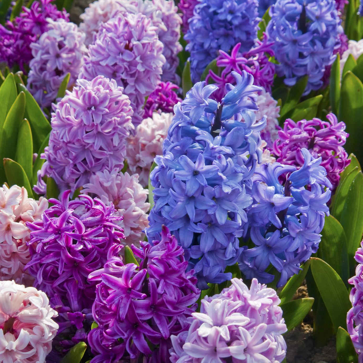 Images of Hyacinth | 1382x1382