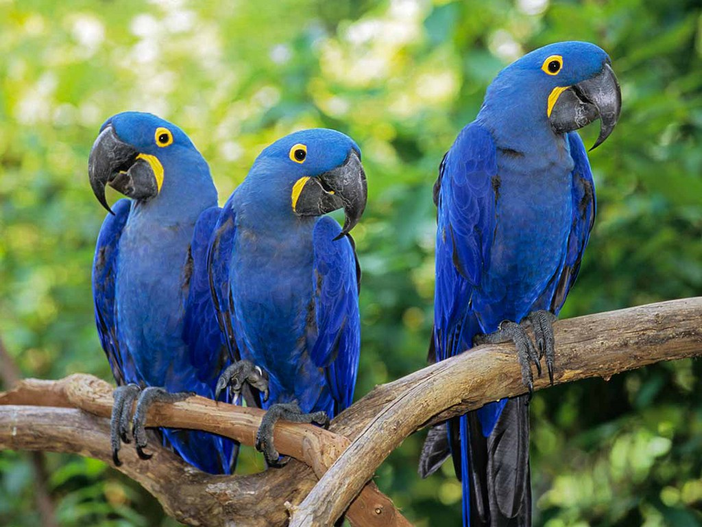 HD Quality Wallpaper | Collection: Animal, 1024x768 Hyacinth Macaw