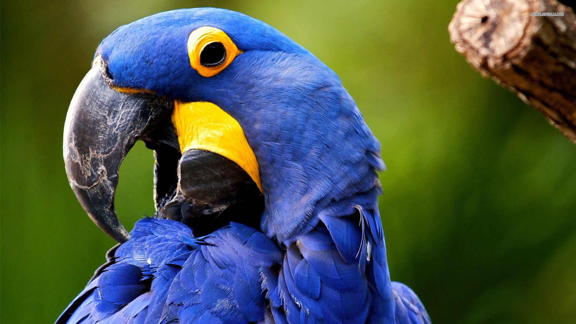 Hyacinth Macaw Backgrounds, Compatible - PC, Mobile, Gadgets| 1920x1080 px