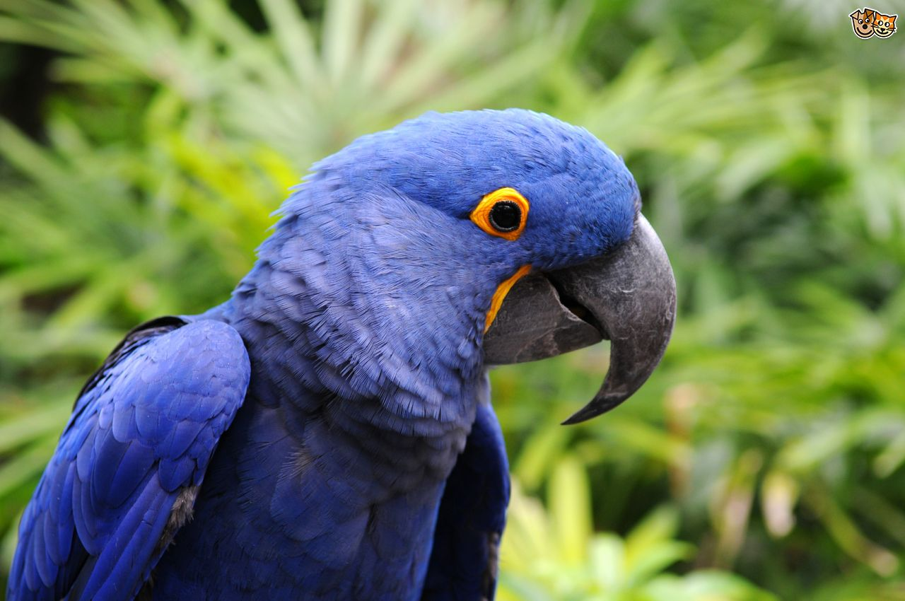 Hyacinth Macaw Pics, Animal Collection