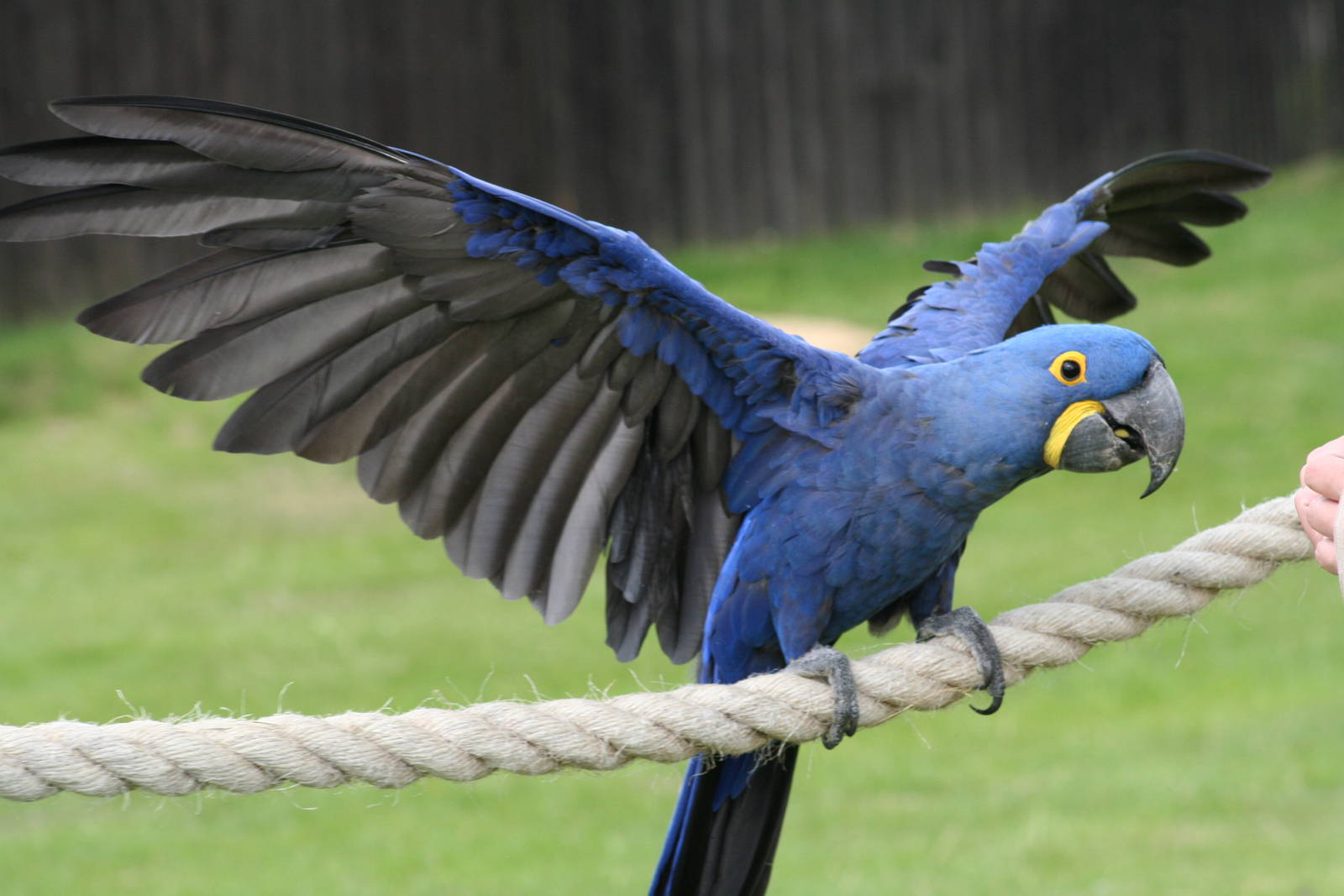 High Resolution Wallpaper | Hyacinth Macaw 1600x1067 px