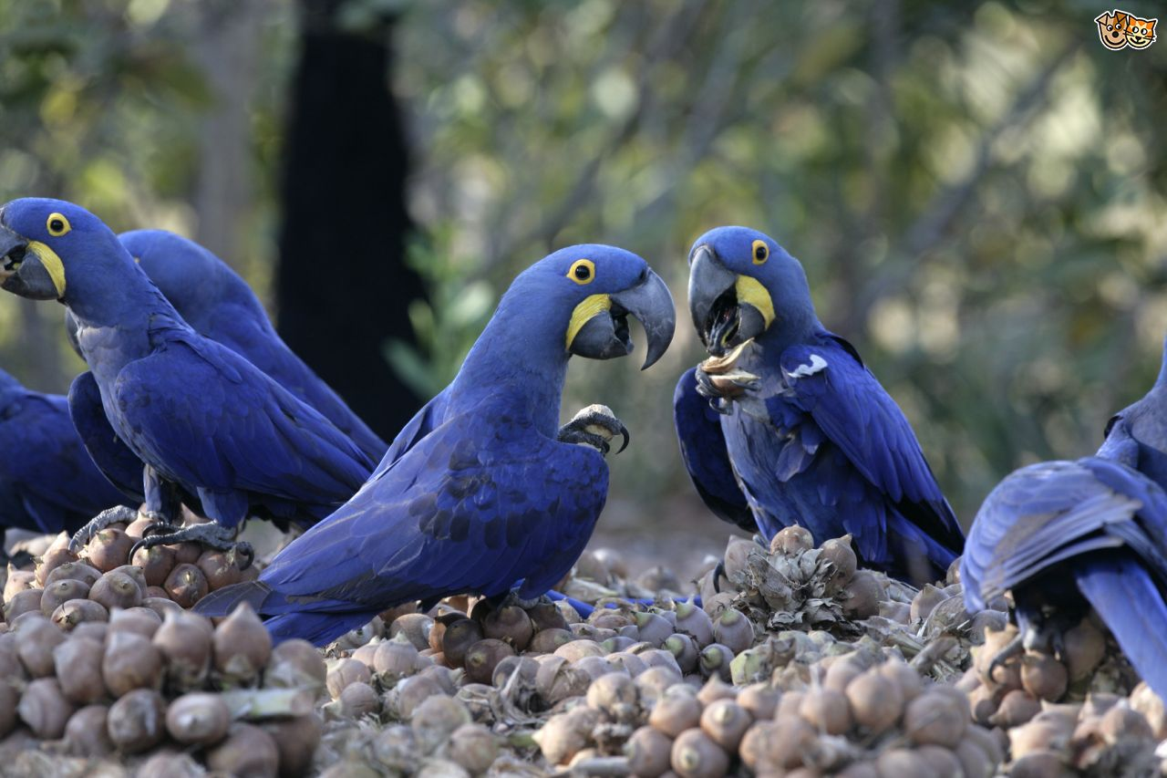 Images of Hyacinth Macaw | 1280x853