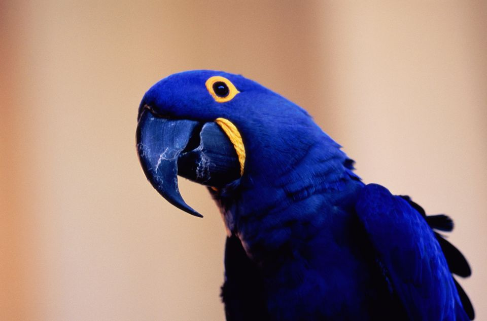 960x634 > Hyacinth Macaw Wallpapers