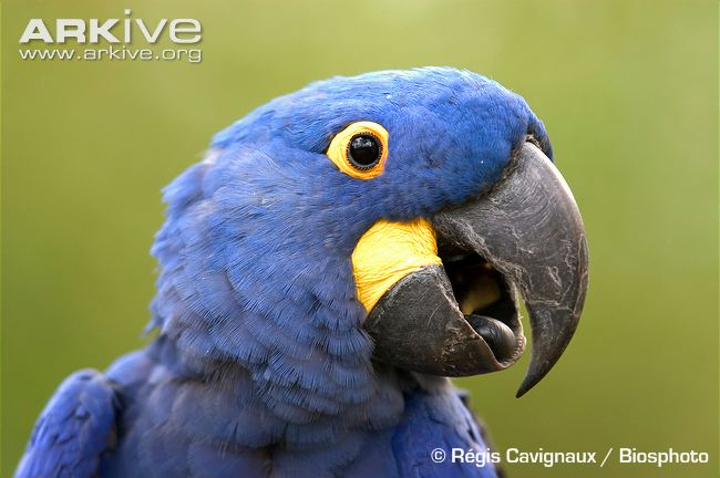 Hyacinth Macaw High Quality Background on Wallpapers Vista