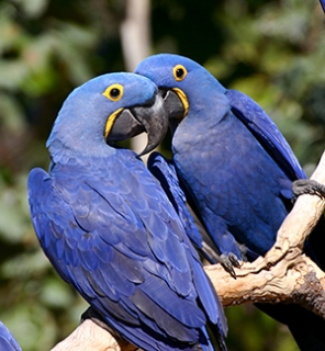 HQ Hyacinth Macaw Wallpapers | File 88.24Kb