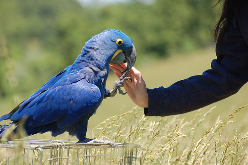 Amazing Hyacinth Macaw Pictures & Backgrounds