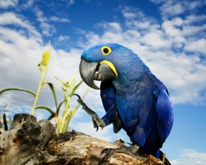 Images of Hyacinth Macaw | 300x241