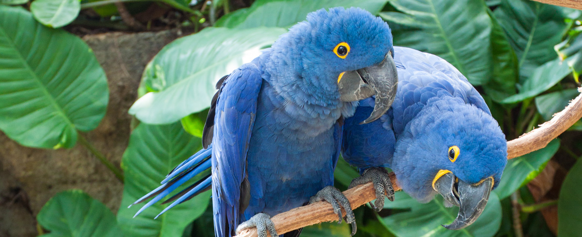 High Resolution Wallpaper | Hyacinth Macaw 1200x490 px