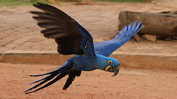 Hyacinth Macaw Backgrounds on Wallpapers Vista