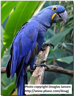 Images of Hyacinth Macaw | 314x408