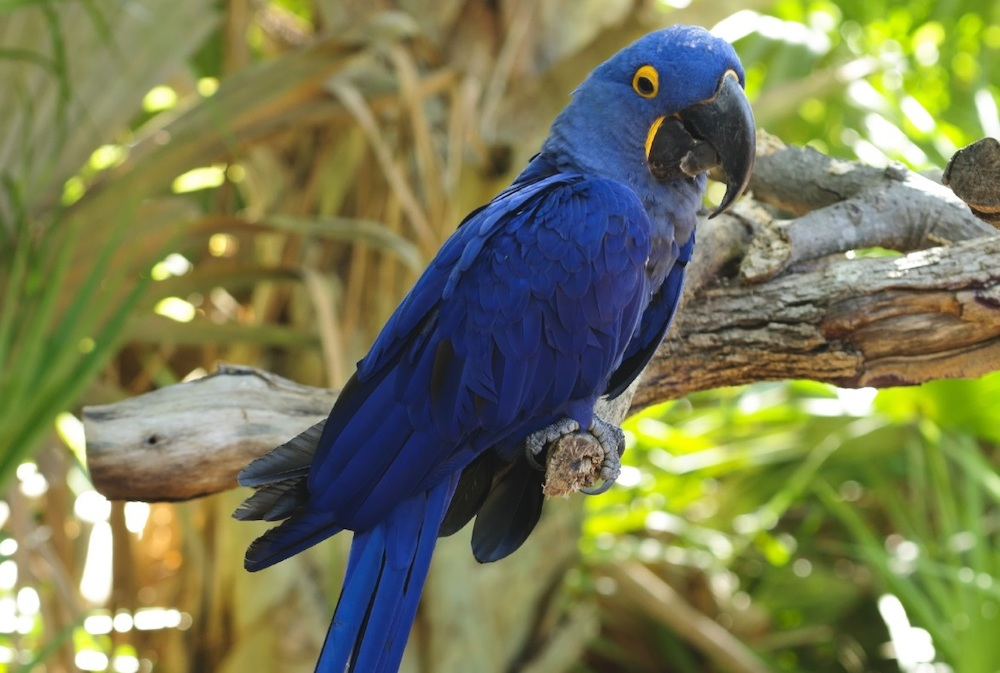 Hyacinth Macaw Backgrounds, Compatible - PC, Mobile, Gadgets| 1000x673 px