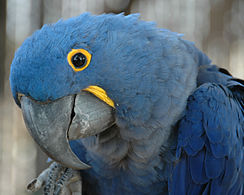 Nice Images Collection: Hyacinth Macaw Desktop Wallpapers