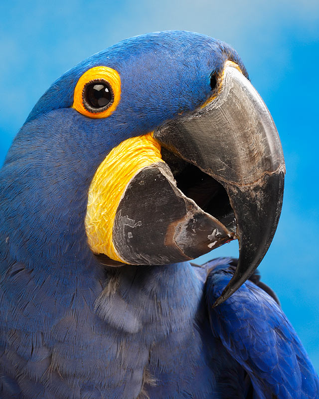 Hyacinth Macaw Backgrounds, Compatible - PC, Mobile, Gadgets| 640x800 px