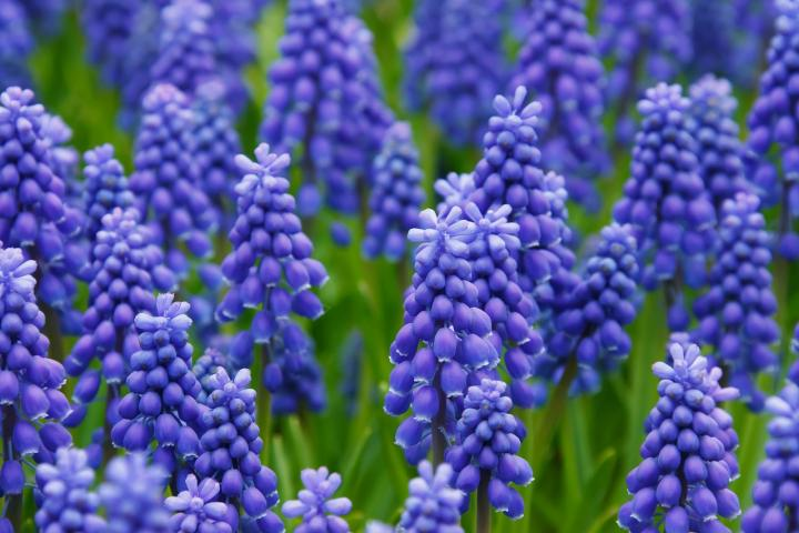 Images of Hyacinth | 720x480