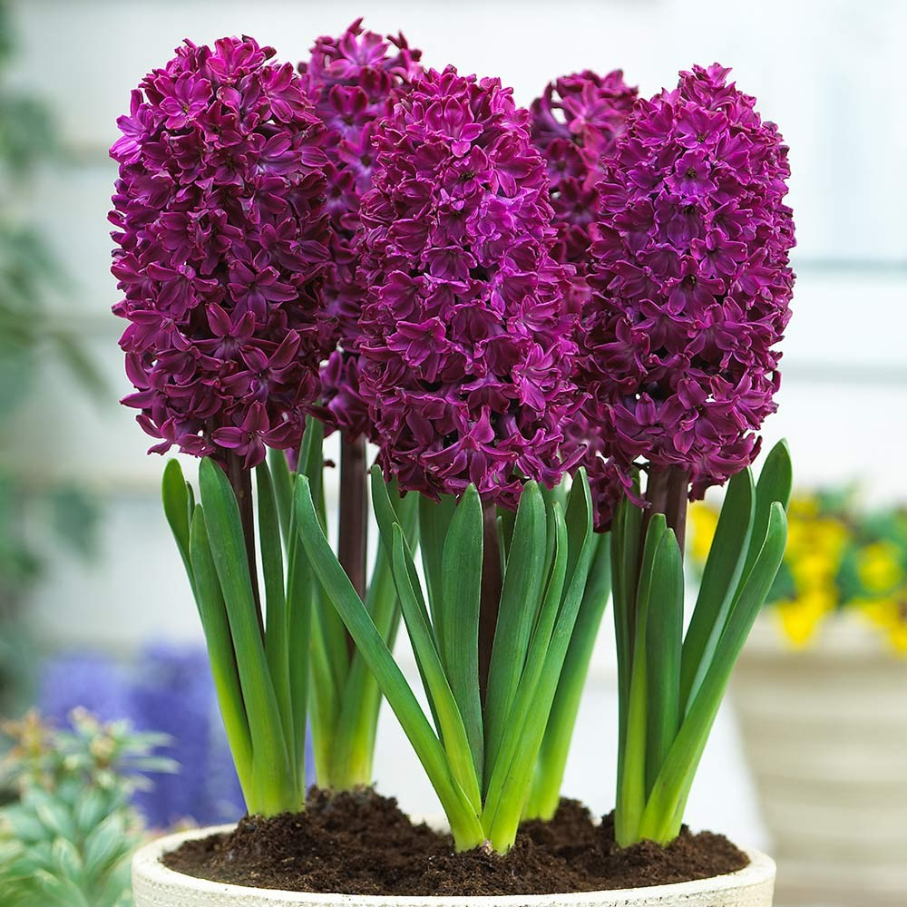 HQ Hyacinth Wallpapers | File 243.13Kb