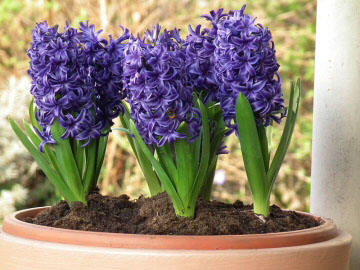 Amazing Hyacinth Pictures & Backgrounds