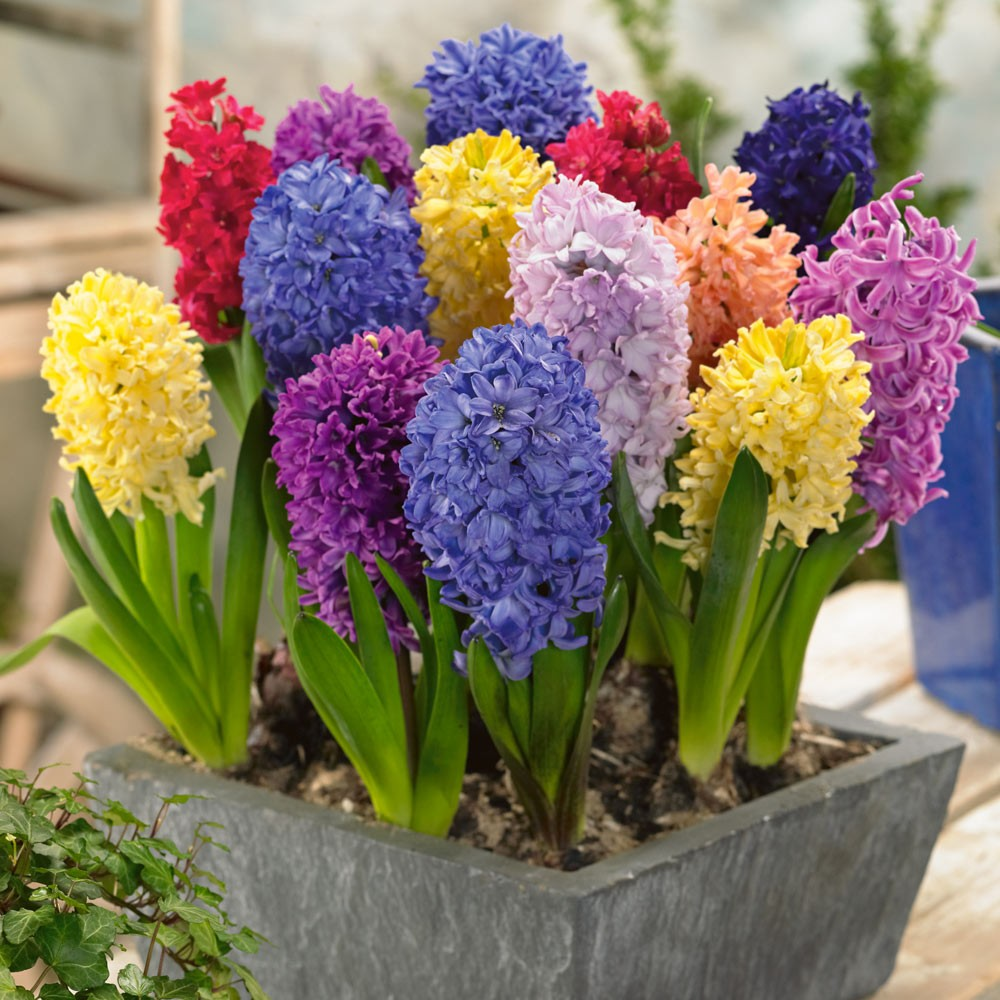 Hyacinth High Quality Background on Wallpapers Vista