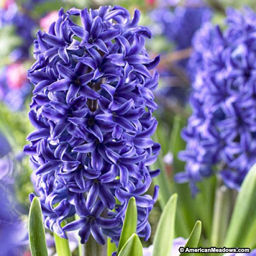 Hyacinth Backgrounds, Compatible - PC, Mobile, Gadgets| 500x500 px