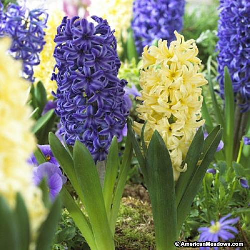 Hyacinth #20