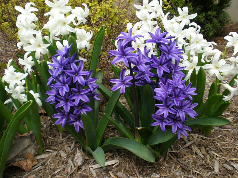 Images of Hyacinth | 800x600