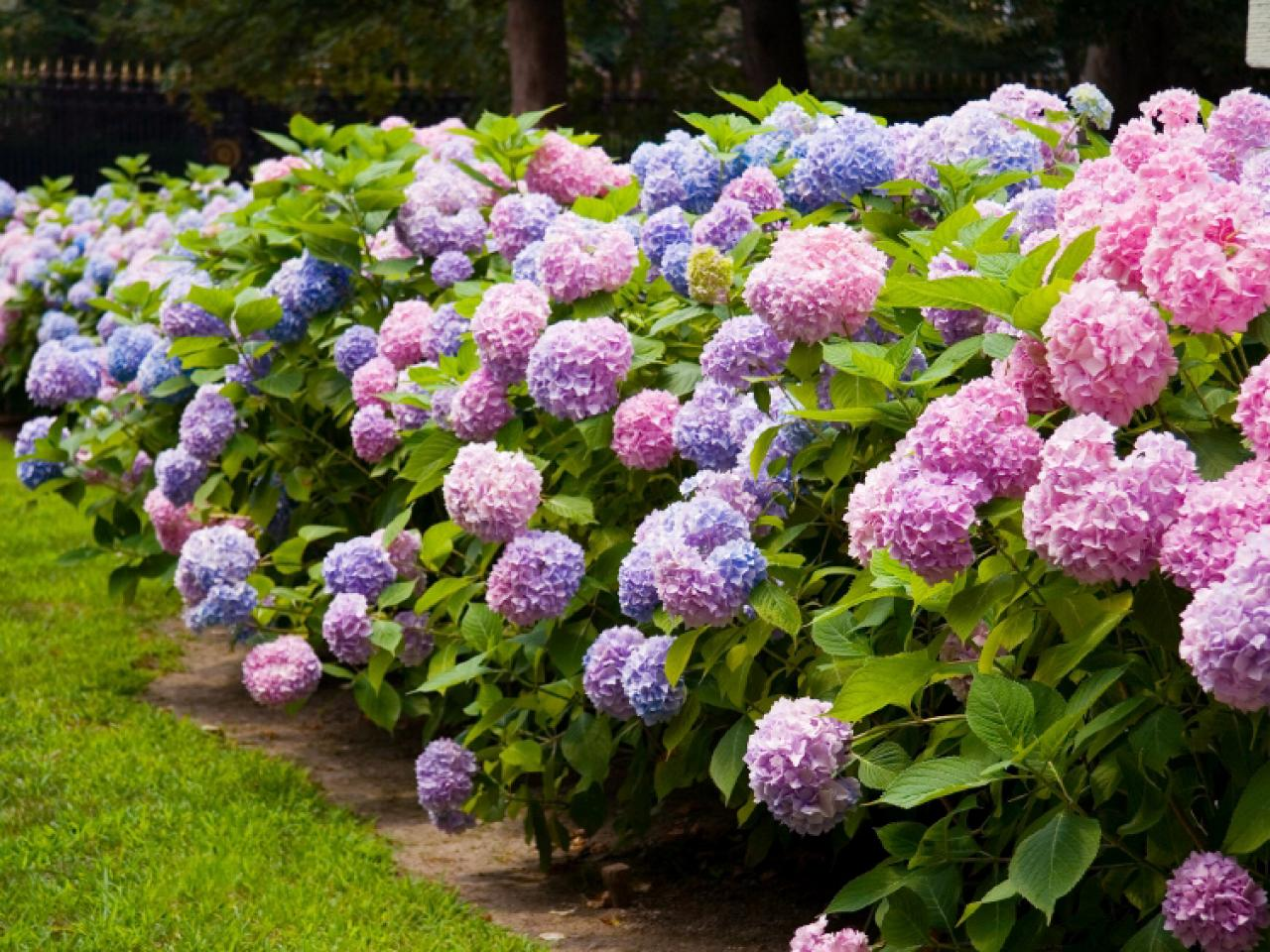 Hydrangea HD wallpapers, Desktop wallpaper - most viewed