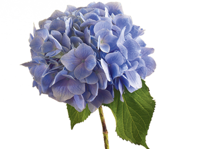 Amazing Hydrangea Pictures & Backgrounds