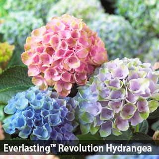 320x320 > Hydrangea Wallpapers