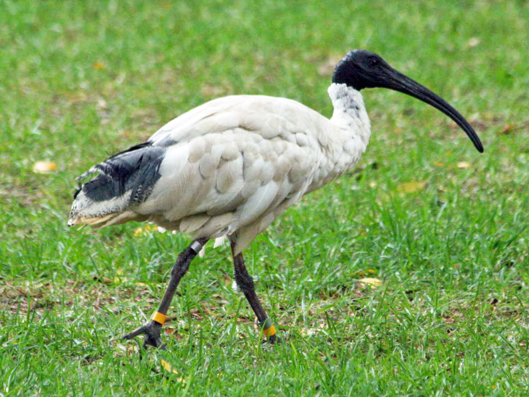 Nice Images Collection: Ibis Desktop Wallpapers