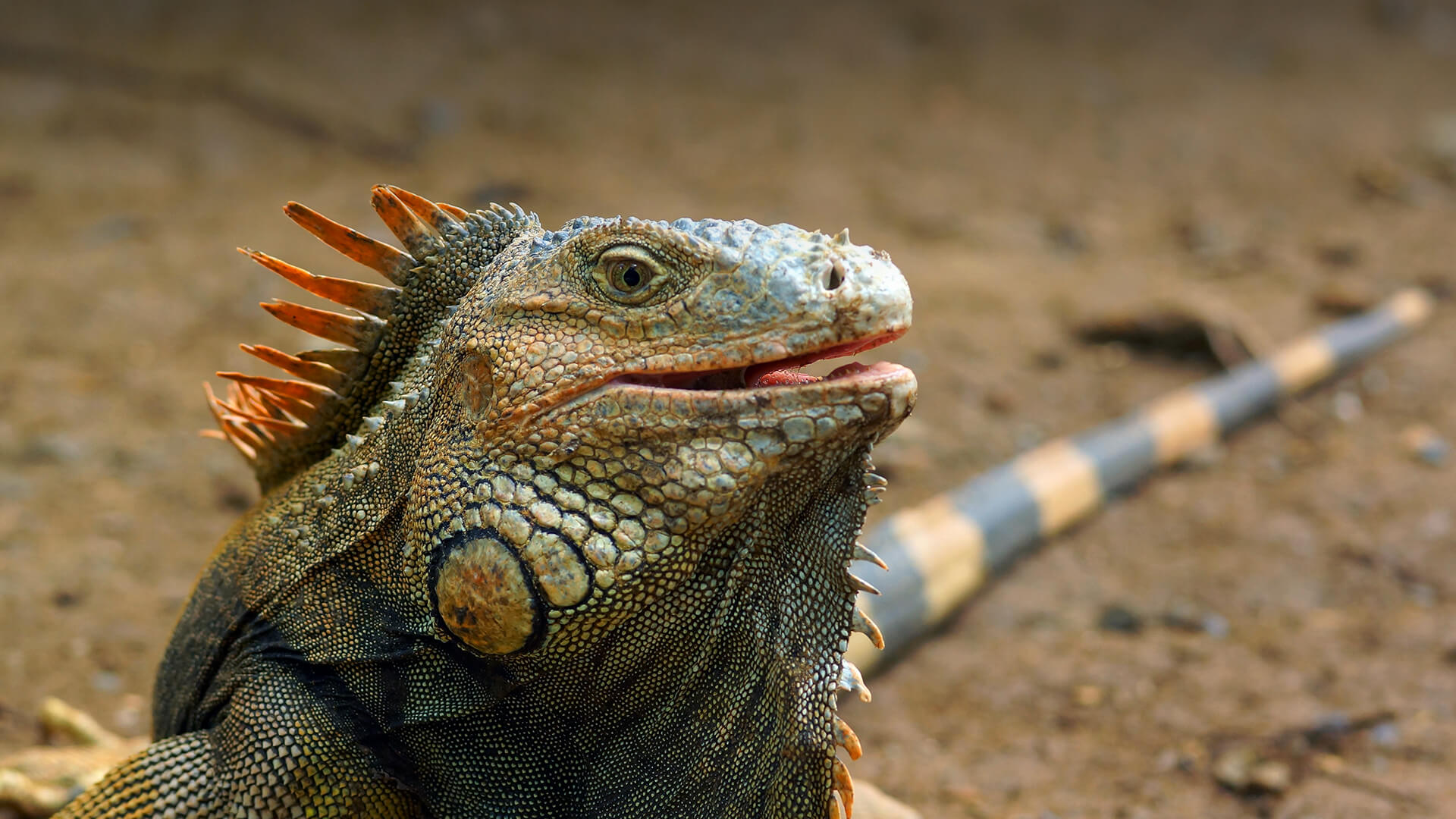 HQ Iguana Wallpapers | File 274Kb