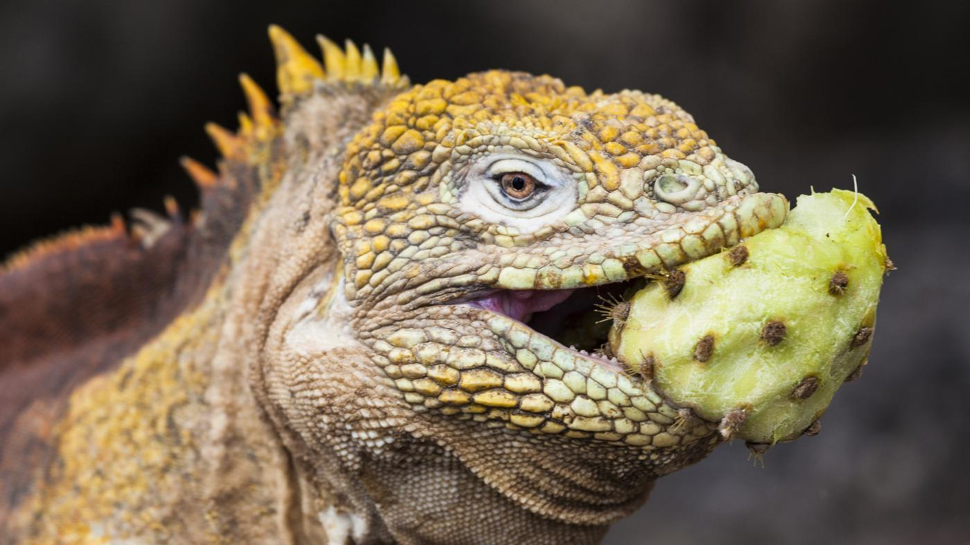 Images of Iguana | 1400x787