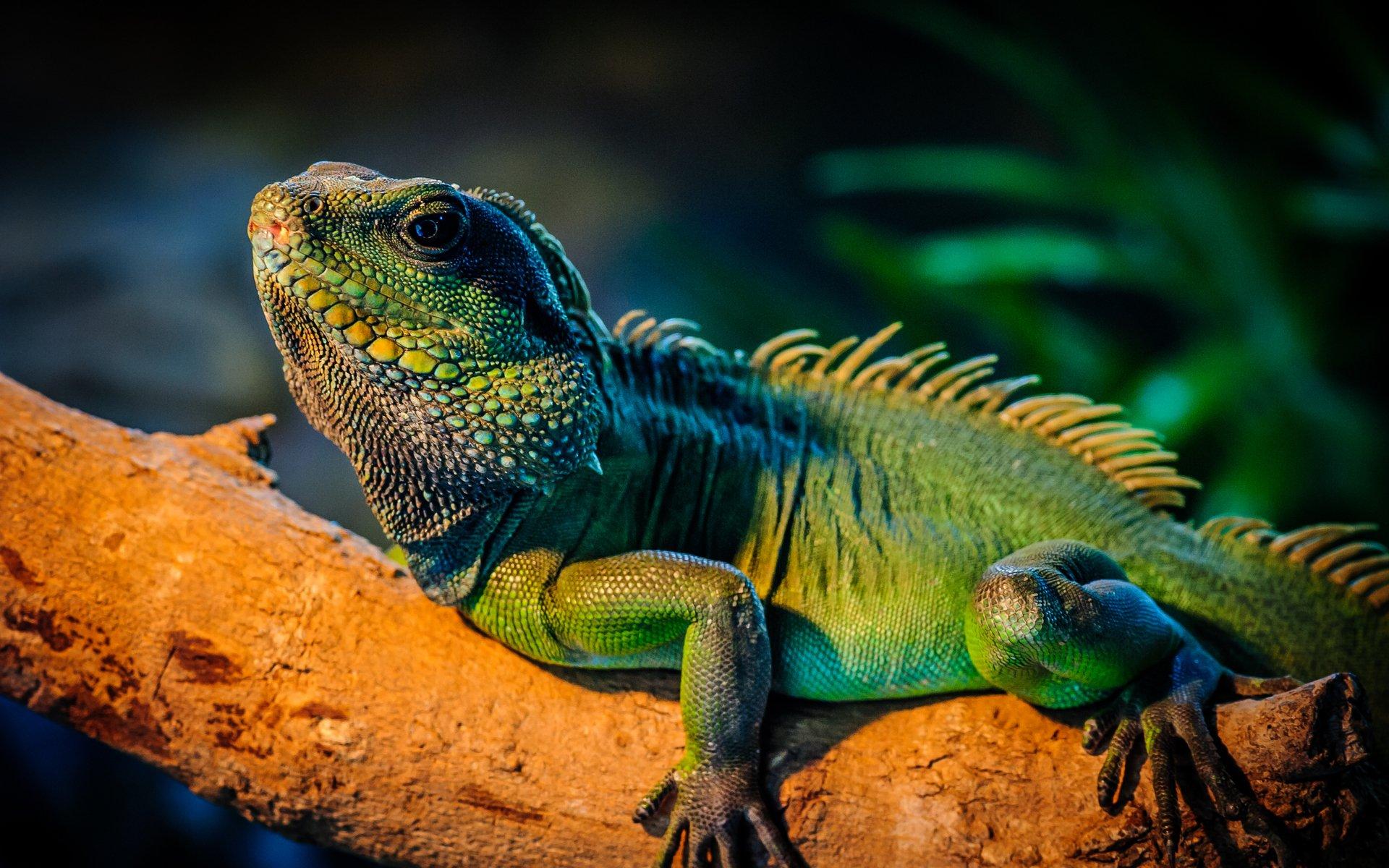 Iguana Pics, Animal Collection