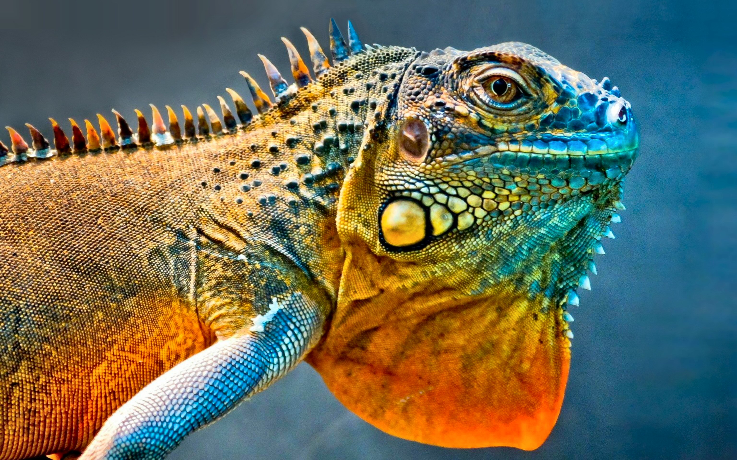 3072x1920 > Iguana Wallpapers