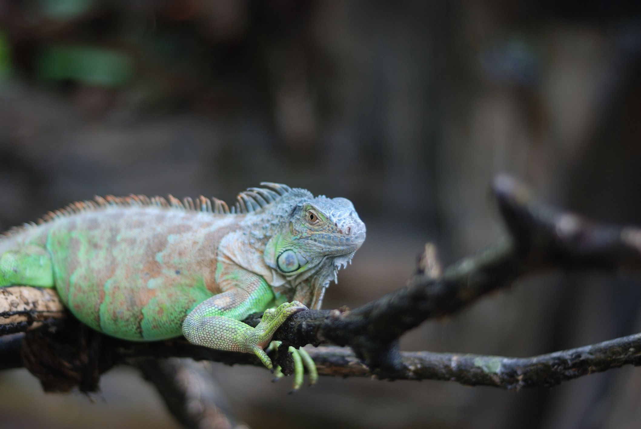 Amazing Iguana Pictures & Backgrounds