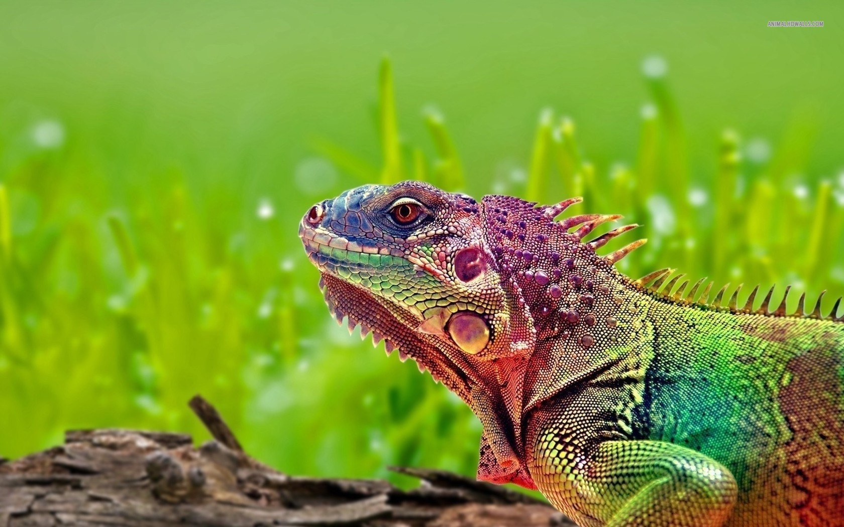 HD Quality Wallpaper | Collection: Animal, 1680x1050 Iguana