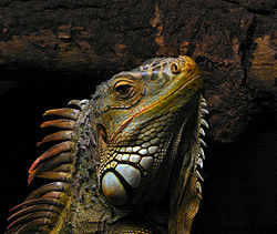 Images of Iguana | 250x211