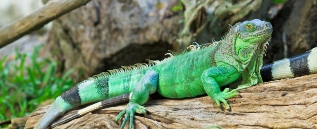Iguana Backgrounds, Compatible - PC, Mobile, Gadgets| 643x262 px