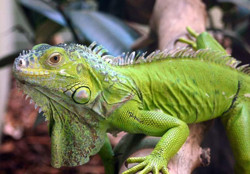 HD Quality Wallpaper | Collection: Animal, 800x558 Iguana