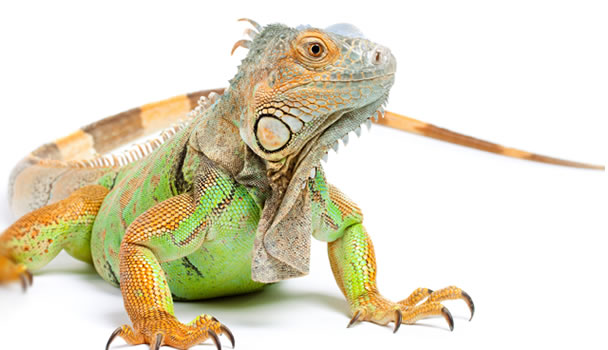 Iguana High Quality Background on Wallpapers Vista