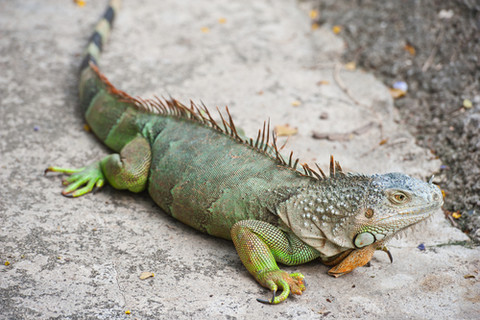 High Resolution Wallpaper | Iguana 480x320 px