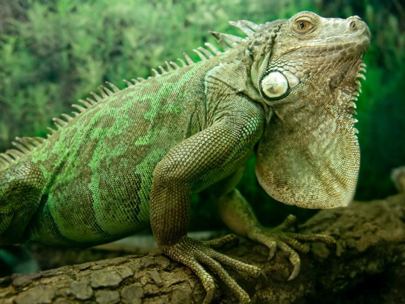 Iguana #26