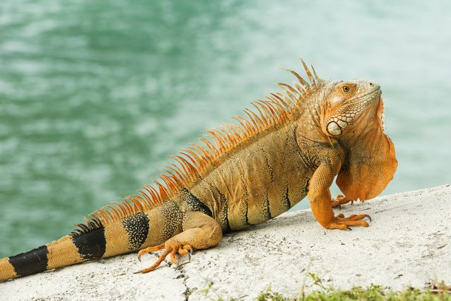 Iguana Backgrounds on Wallpapers Vista