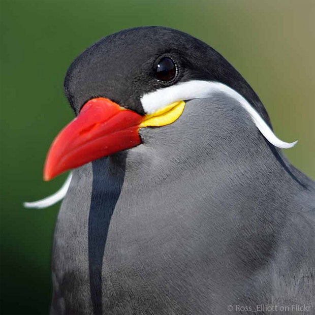 Inca Tern Backgrounds on Wallpapers Vista
