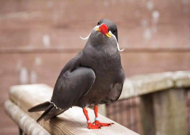 Inca Tern HD wallpapers, Desktop wallpaper - most viewed