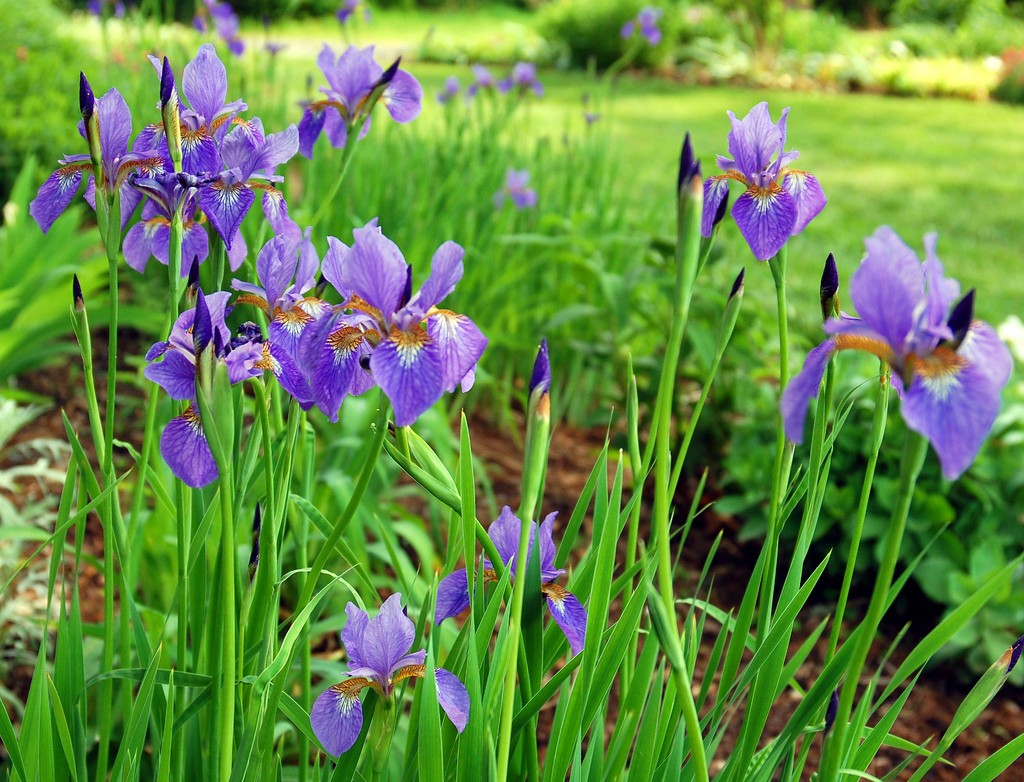 Iris High Quality Background on Wallpapers Vista