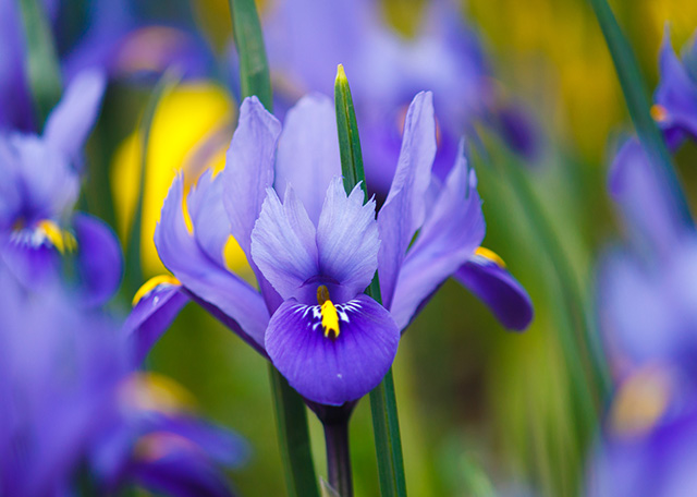 Nice Images Collection: Iris Desktop Wallpapers