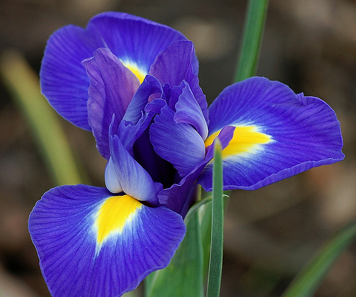 Amazing Iris Pictures & Backgrounds