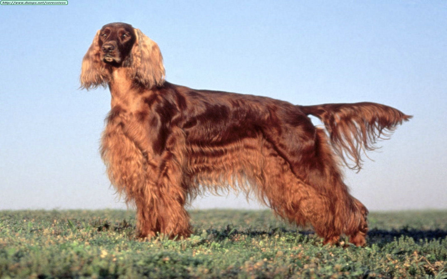 Irish Setter Backgrounds, Compatible - PC, Mobile, Gadgets| 1440x900 px