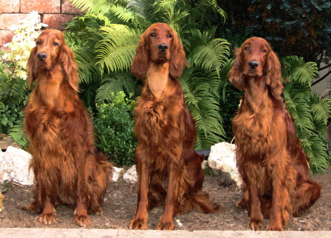 Irish Setter Backgrounds, Compatible - PC, Mobile, Gadgets| 1075x771 px