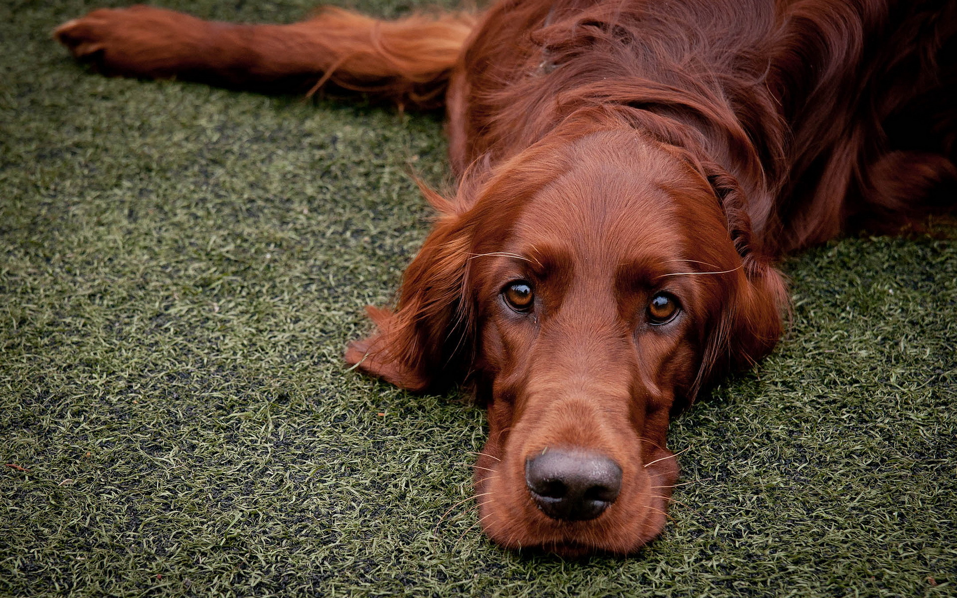 HQ Irish Setter Wallpapers | File 1043.48Kb