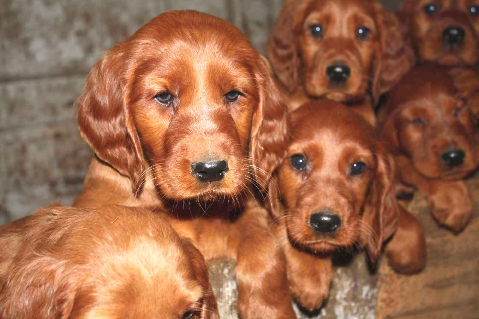 Amazing Irish Setter Pictures & Backgrounds